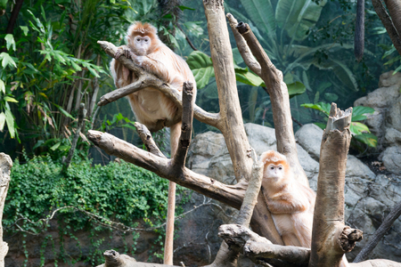 This kind of old world monkey can be found in Java