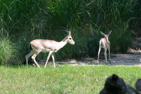 The slender-horned gazelle is endangered with only 300 to 600 mature individuals in the wild Stock Photo