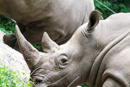 White rhinoceros is the largest specie of rhinoceros