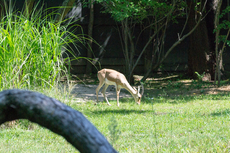 The slender-horned gazelle is endangered with only 300 to 600 mature individuals in the wild Banco de Imagens