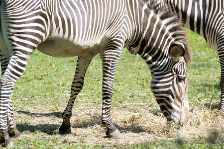 The Imperial Zebra is the largest and more in endangered of all the zebra species Archivio Fotografico