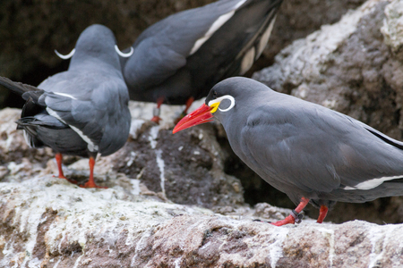 The inca tern feeds mostly on anchovies