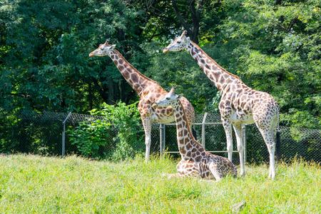 Giraffen zijn de langste van alle landdieren Stockfoto