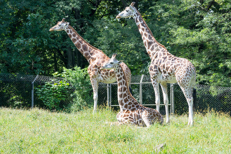 Giraffes are the tallest of all terrestrial animals