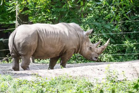 White rhinoceros is the largest specie of rhinoceros