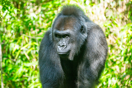 Western lowland gorilla is the smallest of the four gorilla species and the only one kept in captivity
