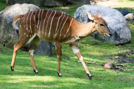 Female nyala lack the spiral horns characteristic of the males