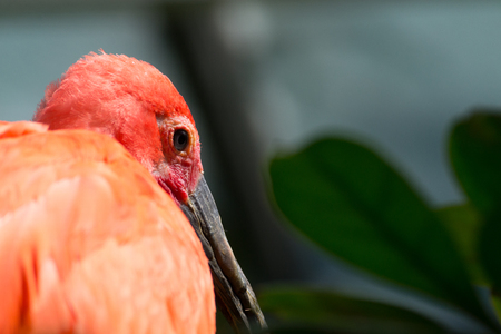 Scarlet ibis diet is mostly based on shrimp and insects Stock Photo