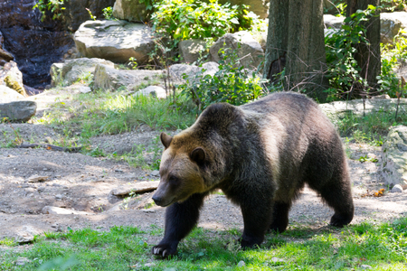 Brown bears are one of the biggest terrestrial carnivores Stock Photo