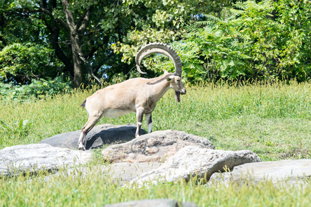 The nubian ibex is a specie of goat that can be found in mountains of the Middle East