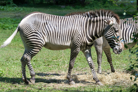 The Imperial Zebra is the largest and more in endangered of all the zebra species Stock Photo