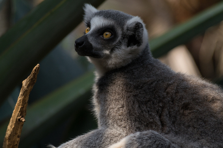 Ring-tailed lemurs are one of the most vocal primates Stock Photo