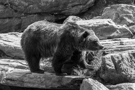 Brown bears are one of the biggest terrestrial carnivores Banco de Imagens