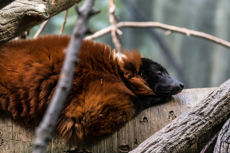 Red-ruffed lemur are the bigest of the lemuridae family Banco de Imagens