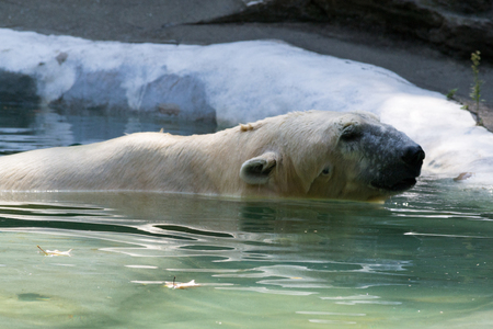 Polar bears fed almost exclusively of seals