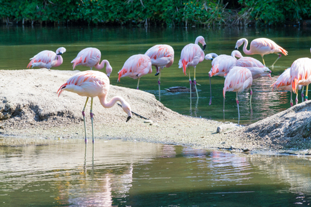 The Chilean Flamingo is nearly threatened according with the IUCN