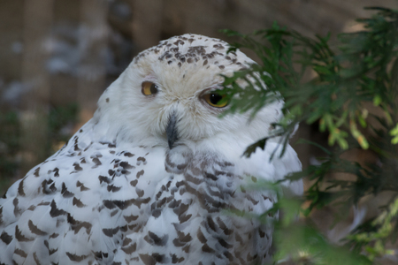 Snowy owl hunts both at day and night