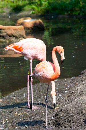The American flamingo is the only specie of flamingo that can be found in North America