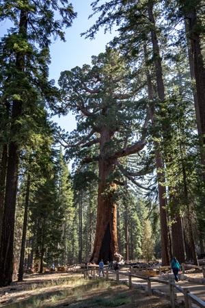 Mariposa grove at Yosemite National Park contains over 100 mature Giant Sequoias Standard-Bild