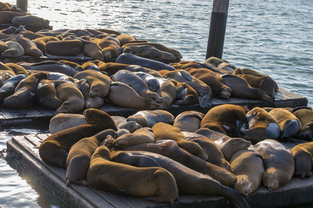 Pier 39 at fishermen wharf in San Francisco is famous due to its sea lions Stok Fotoğraf