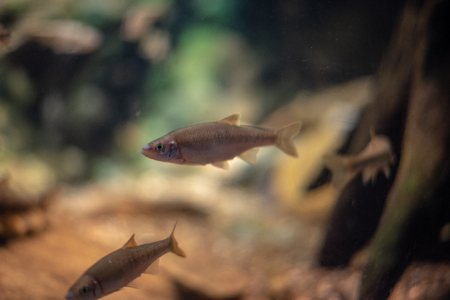 Group of three freshwater fish