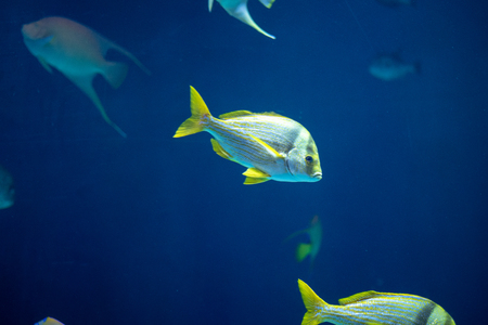 Porkfish (Anisotremus virginicus) in school with other fish Stock Photo