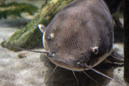 Catfish swimming on the bed of a river