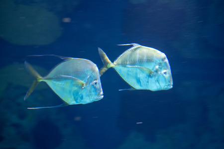 Pair of lookdown fish (Selene vomer)