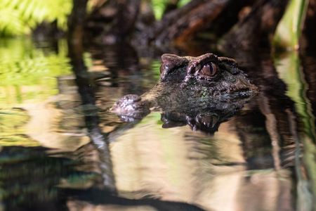 Smooth fronted caiman (Paleosuchus trigonatus) is the second smallest caiman Stock Photo