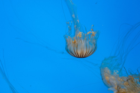 Northern sea nettle (Chrysaora melanaster) in the ocean