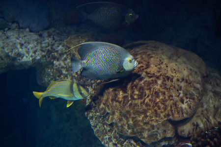 French angelfish (Pomacanthus paru) usually travels in pairs