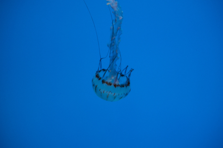 Transparent japanese sea nettle (Chrysaora pacifica)