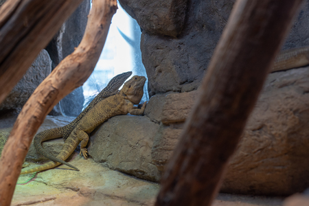 Spiny-tailed monitor (Varanus acanthurus) and Central bearded dragon (Pogona vitticeps) Stock Photo