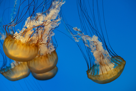 Group of pacific sea nettles (Chrysaora fuscescens)