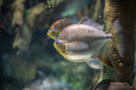 School of cichlid freshwater fish