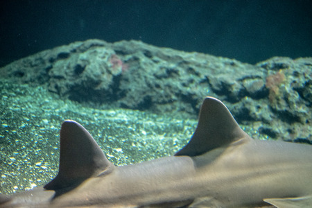 Largetooth sawfish (Pristis pristis) is considered critically endangered Stok Fotoğraf