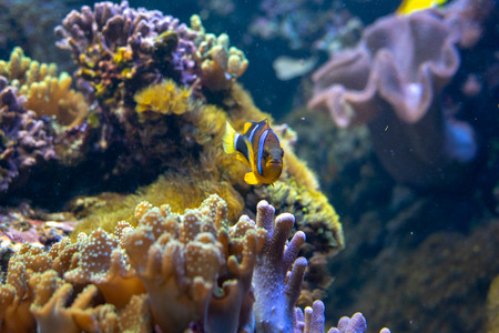 Yellowtail clownfish (Amphiprion clarkii) the most iconic fish of the coral reef