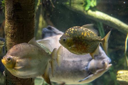 School of cichlid freshwater fish