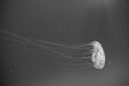 Atlantic sea nettle (Chrysaora quinquecirrha) over blue bakground