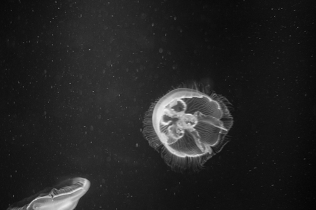 The common jellyfish (Aurelia aurita) is the most widespread in the world