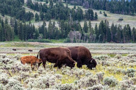 Wild bison family at the Lamar valley in Yellowstone