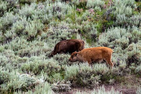 Young wild bison herd at the Lamar valley in Yellowstone