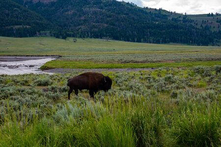 Wild bison at the Lamar valley in Yellowstone