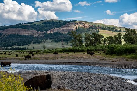 Wild bison herd at the Lamar valley in Yellowstone Stock Photo