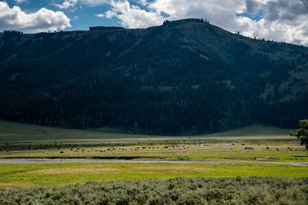 Wild bison herds at the Lamar valley