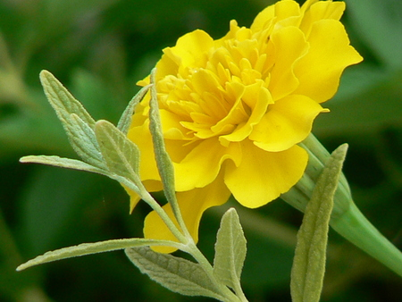 repellant: Yellow Marigold Stock Photo