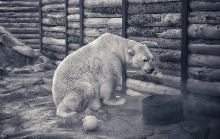 Polar bear kept in captivity