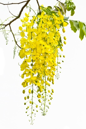 cassia: Cassia is a national tree. Is a sacred wood that are important to Thailand Because the flowers are bright yellow ring Raya which color of Buddhism.