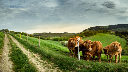 Panorama Cows Eifel Germany