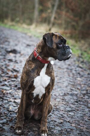 Portrait of a boxer dog sitting in a forest waiting for commands Foto de archivo - 132050503